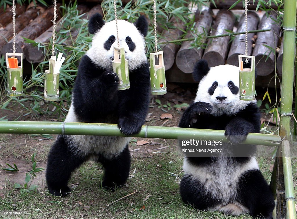 BEIJING , Oct. 4, 2017 -- A pair of giant panda cub twins play at Shanghai Wild Animal Park in Shanghai, east China, Oct. 4, 2017. The panda twin cubs turned one year old on wednesday.