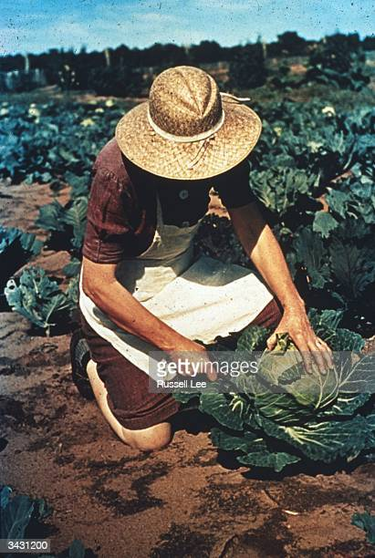 A woman working in a cabbage field in Pie Town New Mexico a community formed by migrant farmers from the dust bowl in texas and Oklahoma