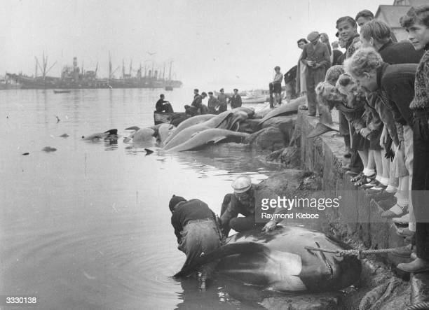Faroe Islanders on the quayside watch whalemen inspecting carcasses of harpooned whales before they are cut up for meat Original Publication Picture...