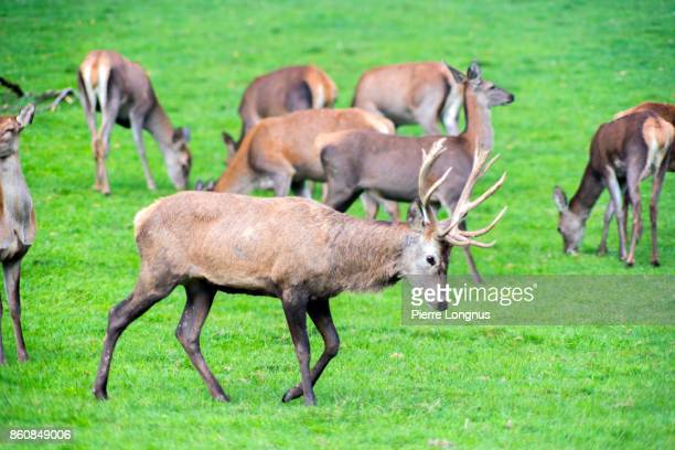 October, mating season, Bull Deer among female deer