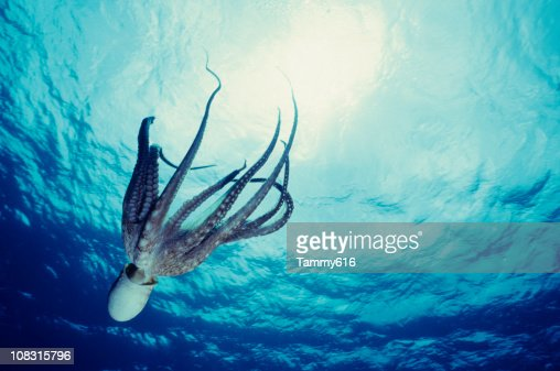 Octopus Dive : Stock Photo