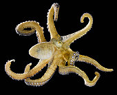 Octopus on black background