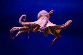 The common octopus (Octopus vulgaris) is a cephalopod of Octopodidae family. Much in the shallows, no more than 200 meters. He prefers substrates rough, rocky, because they are rich of hiding places,