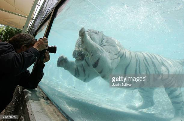 Odin a five yearold White Bengal Tiger appears to be lunging at a photographer as he dives for a piece of meat thrown to him by a trainer during a...