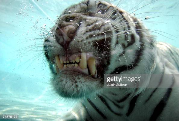 Odin a five yearold White Bengal Tiger dives for a piece of meat thrown to him by a trainer during a big cat show at Six Flags Discovery Kingdom June...
