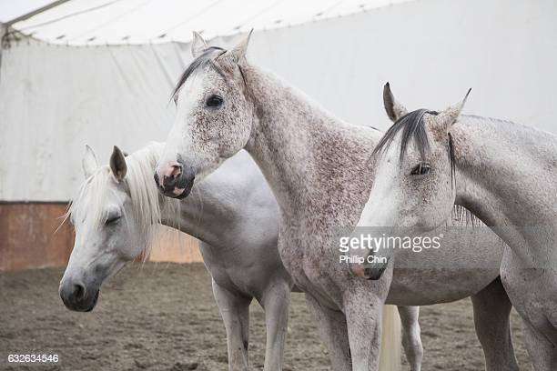 Odysseo Arabian horses practice the Liberty performance at the Cavalia tent in Olympic Village on January 24 2017 in Vancouver Canada