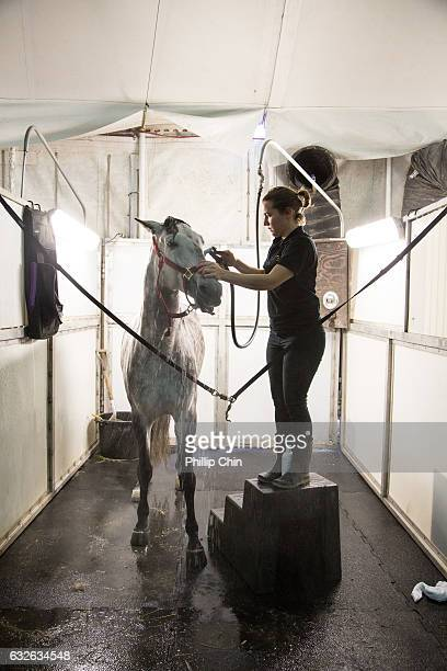 Odysseo horses getting groomed at the Cavalia stables in Olympic Village on January 24 2017 in Vancouver Canada