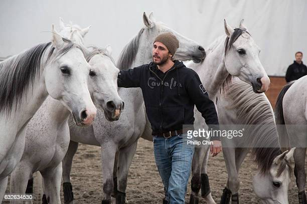 Odysseo rider Adrien Delbaere and the Arabian horses practice the Liberty performance at the Cavalia tent in Olympic Village on January 24 2017 in...