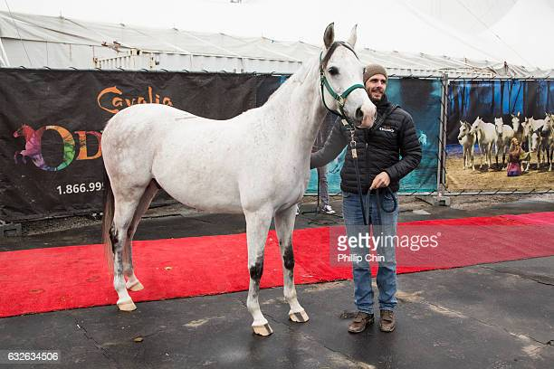 Odysseo rider Adrien Delbaere escorts Pearl down the red carpet to her new Vancouver home at the Cavalia stables in Olympic Village on January 24...