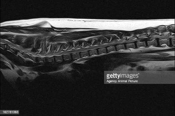 MRI of a dog with a big herniated disc on October 18 2010 in Heidelberg Germany