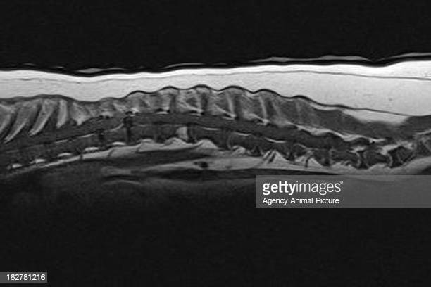 MRI of a dog with a thoracic herniated disc on October 18 2010 in Heidelberg Germany