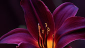 Close-Up Of Red Lily In Dark.