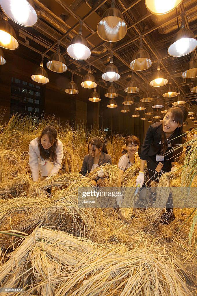Office workers of a human resources service company Pasona Group Inc. harvest rice from paddy fields at a greenhouse in their Tokyo headquarters building on September 9, 2010 in Tokyo, Japan. The greenhouse is equipped artificial light and air conditioning to provide optimum environment for rice cropping.