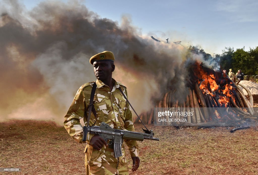 A KWS officer stands near a burning pile of 15 tonnes of elephant ivory seized in Kenya at Nairobi National Park on March 3, 2015. 15 tonnes is the largest amount of contraband ivory burned in Africa to date. The fire was lit by Kenyan President Uhuru Kenyatta to mark World Wildlife Day and African Environment day. An average of 30,000 elephants are poached every year in Africa. AFP Photo/Carl de Souza