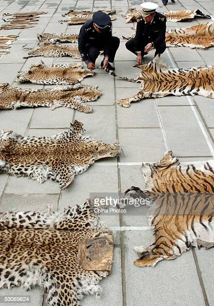Officers of Lhasa Custom inspect a piece of tiger skin on June 14 2005 in Lhasa of Tibet Autonomous Region China The Lhasa Custom is preparing to...
