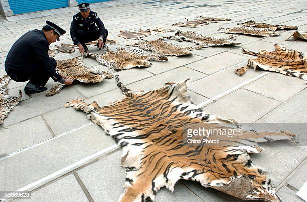 Officers of Lhasa Custom inspect leopard skins on June 14 2005 in Lhasa of Tibet Autonomous Region China The Lhasa Custom is preparing to hand over...