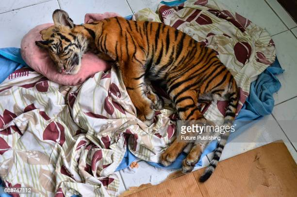 Officers provide care to sick Sumatran tiger cub in BKSDA a Natural Resource Conservation Agency on May 26 2017 in Pekanbaru Indonesia Sumatran tiger...