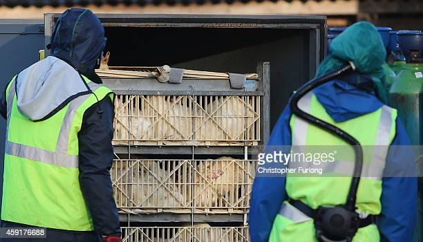 Officials from the Department for Environment Food Rural Affairs start the culling of ducks at a farm near Nafferton East Yorkshire where a strain of...