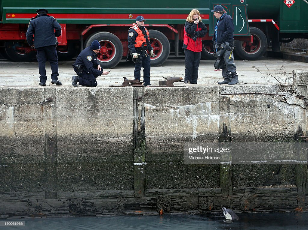 Officials stand on the side of the Gowanus Canal as a common dolphin as it comes up for air after getting stuck on January 25, 2013 in Brooklyn borough of New York City. Officials are waiting till high tide in the hopes that the stuck dolphin will be able to free itself from the canal.