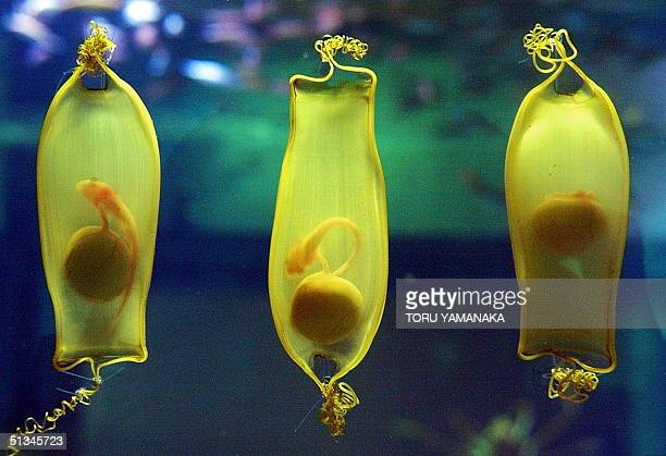 Offspring of a 'draughtsboard' shark moving inside translucent egg shells are seen at a water tank in the Kaiyukan aquarium in Osaka 07 May 1999 The...