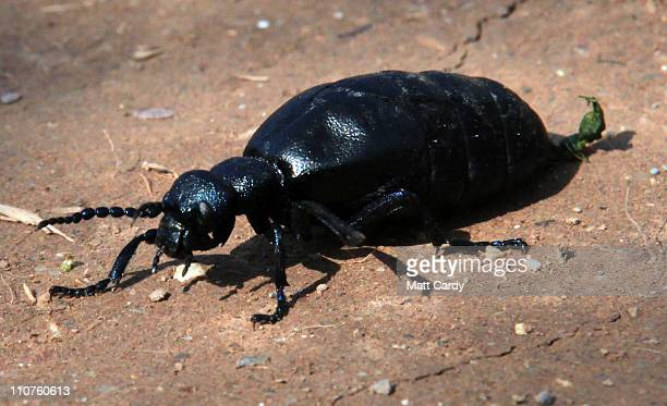 A oil beetle passes a path during the first ever nationwide survey to map the location of the threatened and creatures on March 24 2011 in near...
