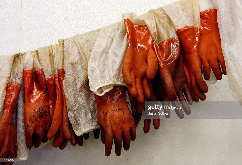 Oil covered gloves hang in the washing room at the San Francisco Bay Oiled Wildlife Care Center November 16, 2007 in Cordelia, California. 949 oil-soaked birds have been collected alive and 933 have been found dead as clean up continues and a criminal investigation is underway following a maritime accident with the container ship Cosco Busan striking the base of the Bay Bridge last Wednesday, releasing 58,000 gallons of oil into the bay.