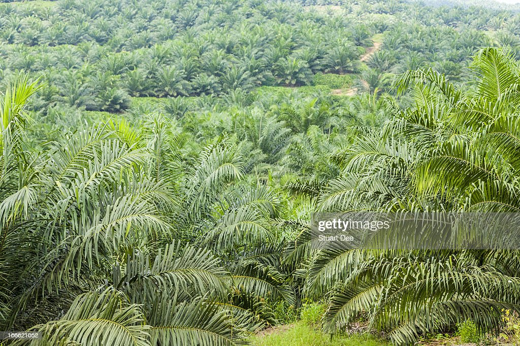 oil palm in malaysia Sustainable palm oil sustainable palm oil developments in malaysia introduction sustainability, is a holistic concept, and encompasses three key elements, often referred to as the 3ps – the people, planet and profit.