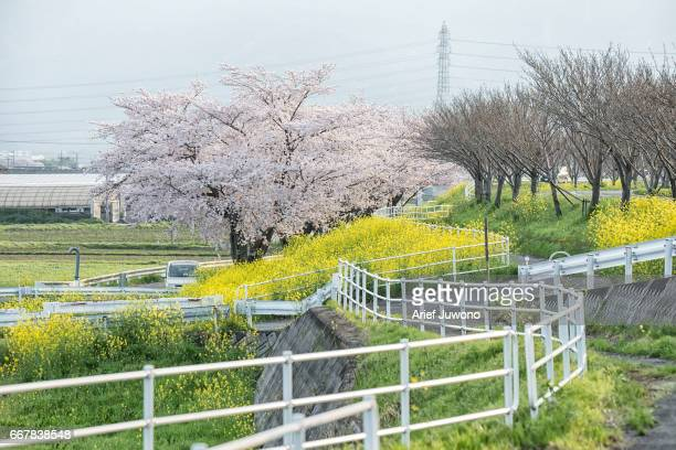 oilseed rape and cherry blossom
