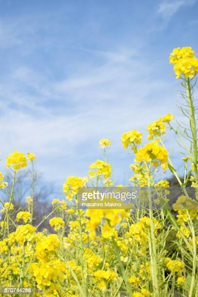 Oilseed Rape Blossoms