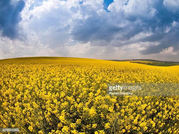 Oil-seed rape field