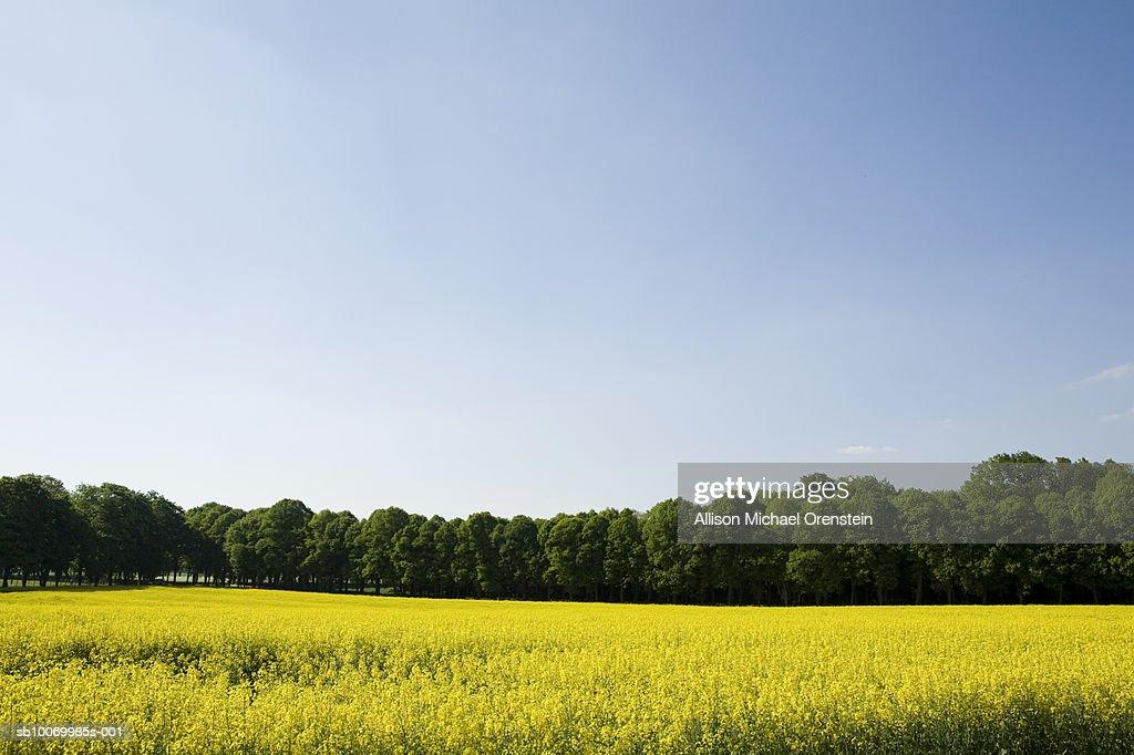 Oilseed rape field, trees and clear sky : Stock Photo