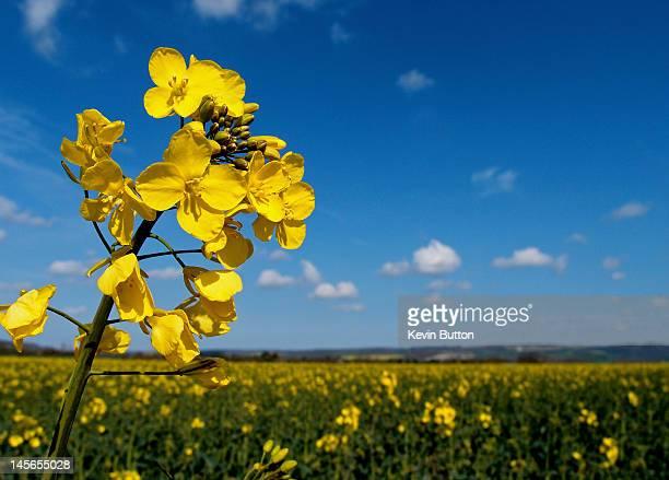 Oilseed rape flower