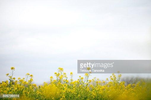 Oilseed rape, Tokyo Prefecture, Japan