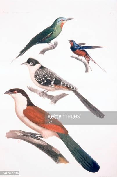 Oiseaux d'Egypte le coucalhouhou le coua noir et blanc le guêpier de Savigny l'hirondelle de Riocour planche réalisée par JulesCésar Savigny pour le...