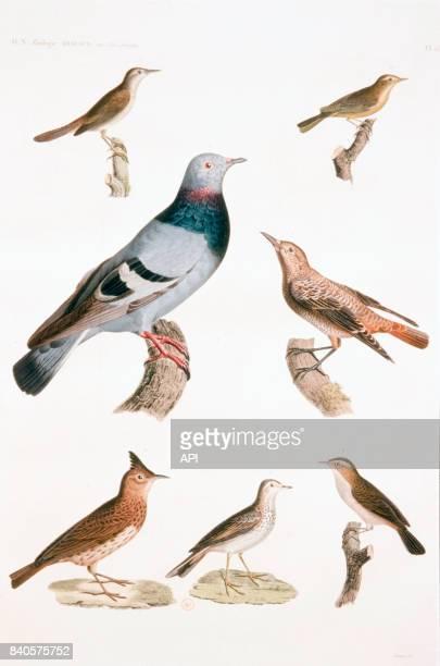 Oiseaux d'Egypte le merle de roche le pouillot à ventre jaune la fauvette locustelle la fauvette des joncs le pipit des arbres l'alouette cochevis...