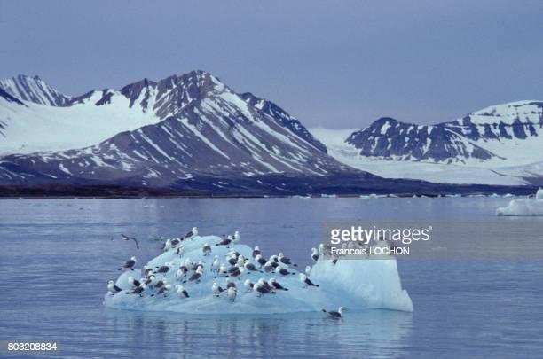 Oiseaux marins sur un iceberg de l'île Spitzberg en Norvège