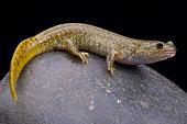 The Oita salamander (Hynobius dunni) is a semi aquatic amphibian species endemic to Japan.