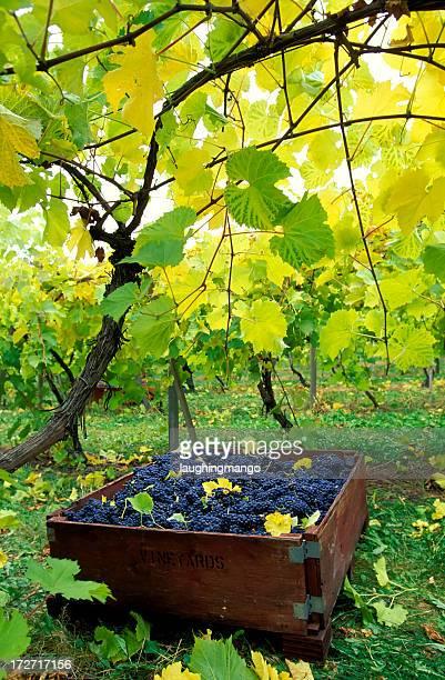 okanagan valley vineyard bin grapes