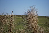 Fencelines might be clear in Oklahoma if it weren't for rolling tumbleweed and winds.  Pictured here are tumbleweed caught in farm pasture fencing.