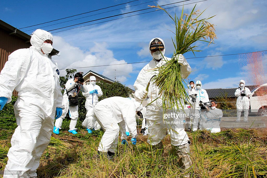Okuma Town Officers wearing radiation protection gears crop the rice from the test puddy on October 10, 2012 in Okuma, Fukushima, Japan. The town, located 6 kilometers from the crippled Fukushima Daiichi Nuclear Power Plant and remain 'No-Go Zone', had grown rice to investigate the level of radioactive cesium in the two test puddy, one was done decontamination work and another was kept as it was since the March 2011 nuclear accident.