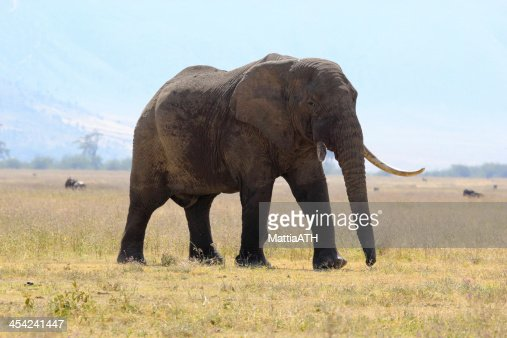 Old african elephant : Stock Photo