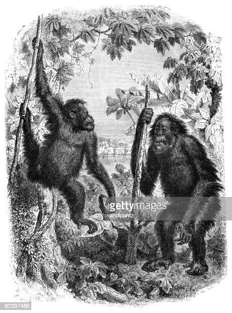 old and young orangutan