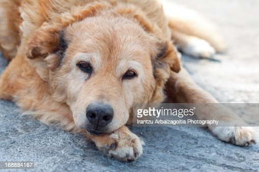 Old basque shepherd dog lying : Stock Photo
