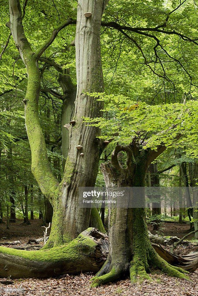 Old beech forest -Fagus sylvatica-, Darss, Western Pomerania Lagoon Area National Park, Mecklenburg-Vorpommern, Germany