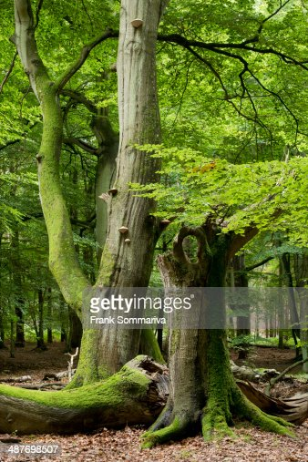 Old beech forest -Fagus sylvatica-, Darss, Western Pomerania Lagoon Area National Park, Mecklenburg-Vorpommern, Germany
