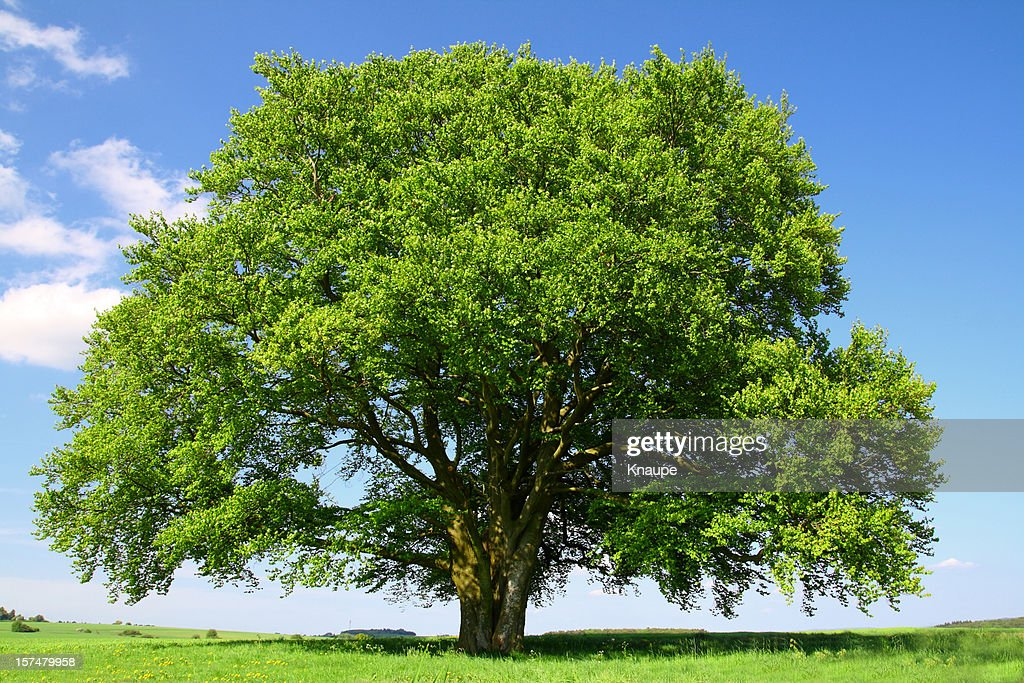 Old Beech Tree in Summer