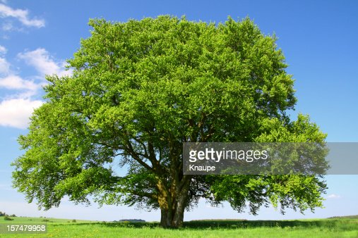 Viejo Árbol de haya en verano