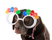 Sad and old labrador retriever dog wearing happy birthday glasses.