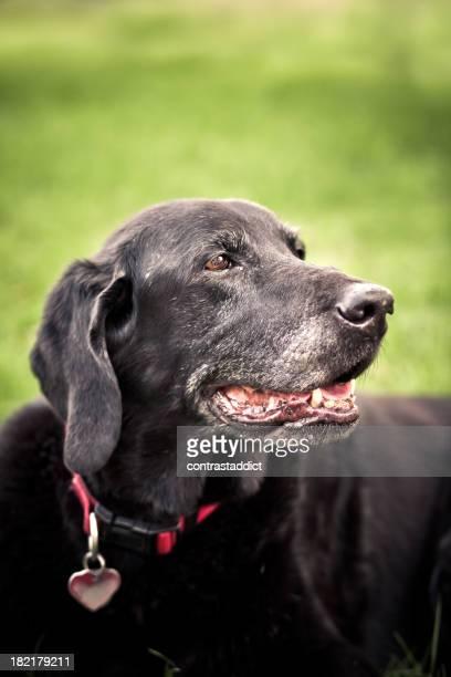 Vecchio Labrador retriever nero