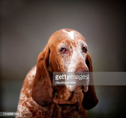 Old Bloodhound Portrait. Color Image : Stock Photo